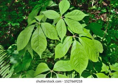 A close up of the branch of medicinal plant (Eleutherococcus senticosus).