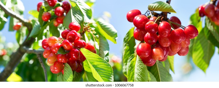 close up of branch of ripe cherries on a tree in the garden