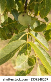 Close up of a branch of walnut tree with young green walnuts on a sunny morning of summer