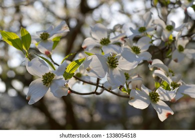 Close up of a branch of white dogwood tree flowers in dappled sunlight on a day in early spring