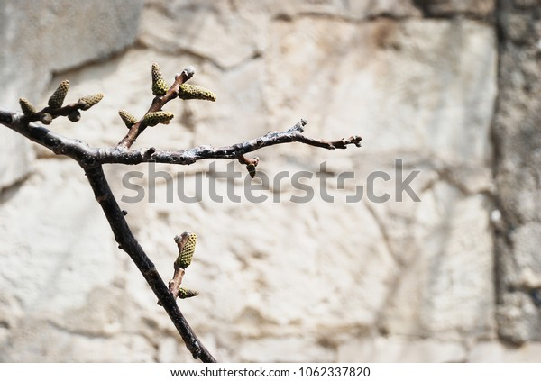 Close up branches with buds ready to bloom against a blurred stone textured background