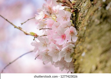 Close Up branches of Cherry Blossom (Sakura) at Amsterdamse Bos, Amstelveen, Netherlands.