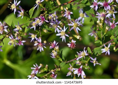 Close up of branches full of colorful mountain wildflowers that grow at a high elevation and bloom in September in Western North Carolina, USA