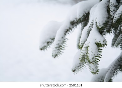 Close up of branches of a tree covered with snow fall. Winter Scene.