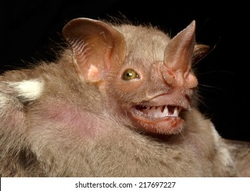 Bat Face Images Stock Photos Amp Vectors Shutterstock