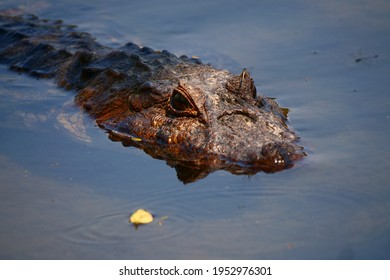 CLOSE UP Brazilian Croc, Crocs from Pantanal BRazil, crocs, eyes Pantanal Wildlife