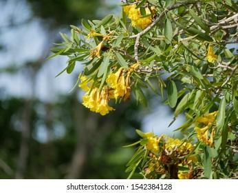 Close up of Brazilian Yellow Ipe tree flowers (Golden trumpet) - Handroanthus chrysotrichus plant