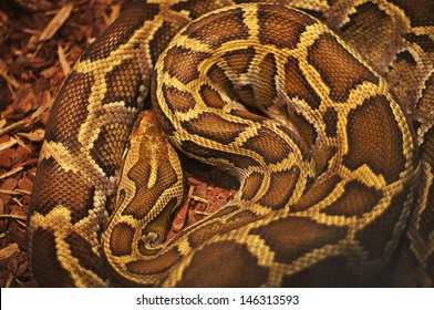 Close up of the bright, big and colorful anaconda snake