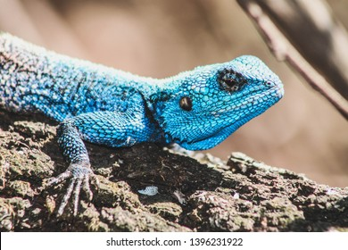 Close up of bright blue-headed lizzard on a tree