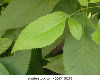 Close up of bright green color leaf of Slippery elm tree