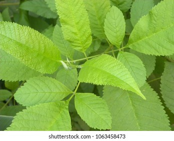Close up of bright green color leaves of Slippery elm tree