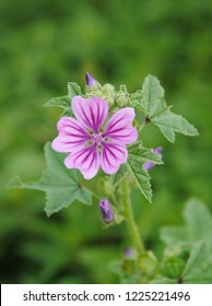 Close up of a bright mauve-purple flower with dark veins and top leaves of common or high or tall mallow (Malva sylvestris) against a blurred green background
