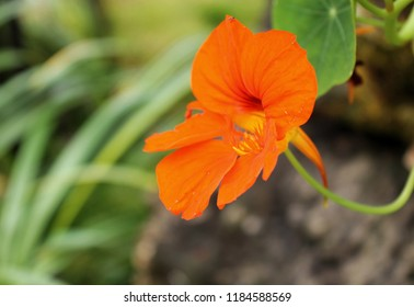 close up bright orange of nasturtiums. Nasturtium plants in the garden. Bright flowers in summer. Beautiful orange flower on a colorful brown-green background. soft focus phot