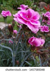 Close up of a bright pink dianthus