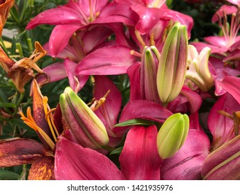 Close up of bright pink unopened Asiatic lily buds, downward view