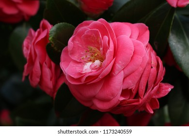 A close up of bright red camelia flower on the blooming tree in dark colors