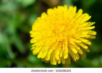 Close up bright yellow dandellion flower in green grass