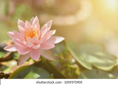 Close up bright,soft and selective focus image of single pink lotus in a pond with sunlight and space for add text for illustration buddhism concept.