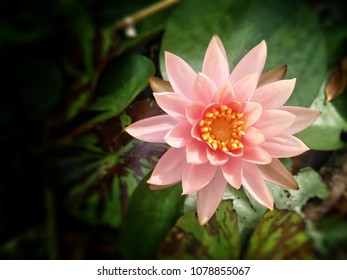 Close up bright,soft and selective focus image of single pink lotus in a pond with black space for add text and for illustration buddhism concept.