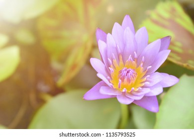 Close up bright,soft and selective focus image of single purple lotus in a pond with sunlight and space for add text for illustration buddhism concept.