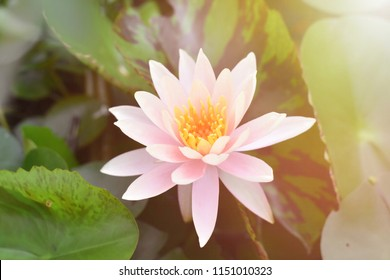 Close up bright,soft and selective focus image of single pink lotus with sunlight and beam in a pond for add text for illustration buddhism concept.