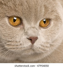 close up of a british shorthair (9 months old) in front of a white background