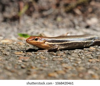 Close up of a Broadheaded skink on stone path
