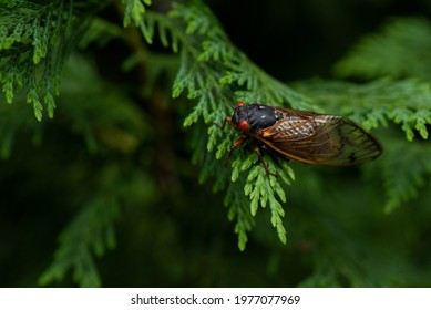 """close up of a """"Brood X"""", 17 year periodical cicada sitting on a cypress leaf with room for text."""