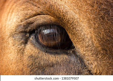 close up of brown 5 year old Holstein/ jersey  cow's eye looking at the camera.