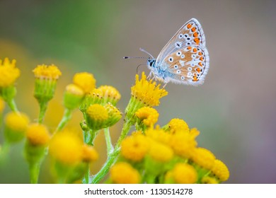 Close up of the brown argus butterfly, Aricia agestis, resting and pollinating on yellow flowers and vegetation