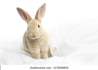 Close up of brown baby rabbits 3 month old isolated on a white background with white cloth. Group of Short hair adorable baby rabbit, Beautiful easter bunny rabbit use for easter holiday concept, Gray
