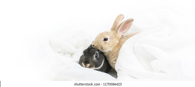 Close up brown baby rabbits 3 month old isolated on a white background with white cloth. Group of Short hair adorable baby rabbit, Beautiful easter bunny rabbit use for easter holiday concept, Black