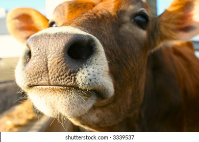 Close up of a brown bovine snout