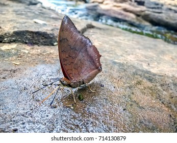 Close up brown butterfly on the rock. Finding out the nutrients eaten by a waterfall in the woods or on the water.