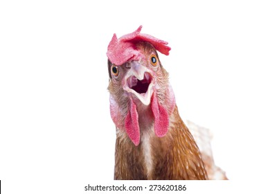 close up of brown chicken head open mouth surprising emotion  isolated white background,funny animals theme