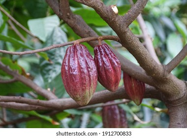 Close up of a brown cocoa fruits on the tree
