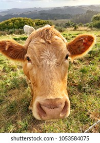 Close up of brown Cows face looking straight at camera