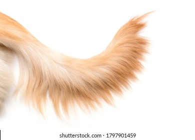 Nahaufnahme, brauner Hundeschwanz (Golden Retriever), einzeln auf weißem Hintergrund. Draufsicht mit Kopienraum für Text oder Design
