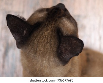 Close up Brown fur Thai Siamese cat head, top view, with light blurred wooden floor background, looking straight front