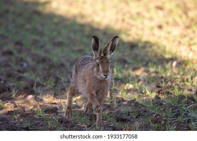 Close up of a brown hare running on a farm field with one foot raised