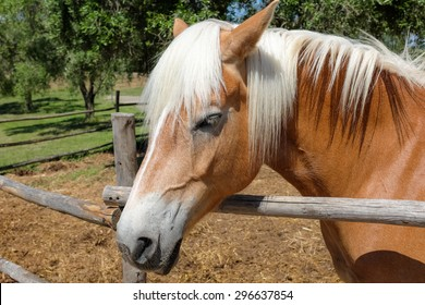 Close up of a brown italian horse with his white mane