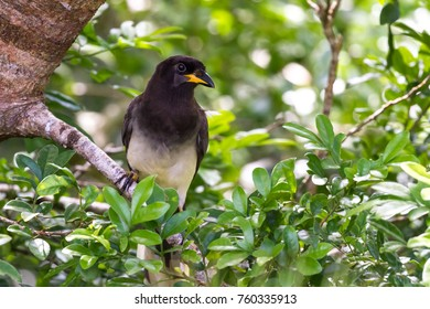 Close up of a brown jay perched on a small branch in tropical Costa Rica