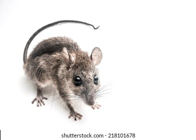 Close up of brown rat on white background