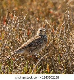 close up of a brown Skylark bird in brown grass