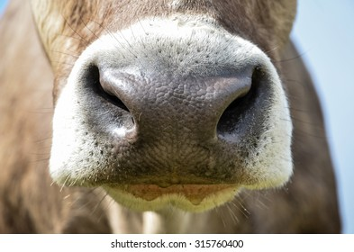 close up of brown and white cow's nose