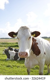 A close up of a brown-white cow