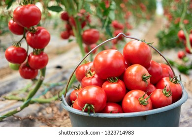 Close up bucket full of ripe healthy tomatoes. Picking organic tomatoes in the greenhouse. Hydroponics in commercial food production.