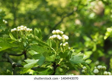 a close up budding hawthorn flowers with bright green spring leaves against a vibrant sunlit forest background