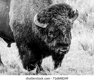 Close up of buffalo in black and white