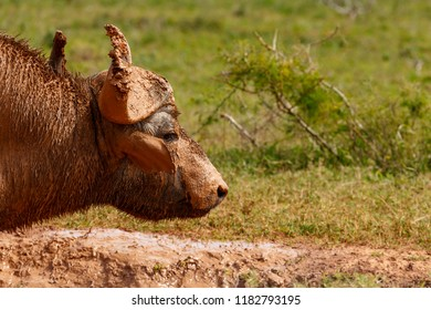 Close up of a Buffalo with mud on his face in the field